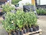 I will sell Blueberry saplings - photo 1