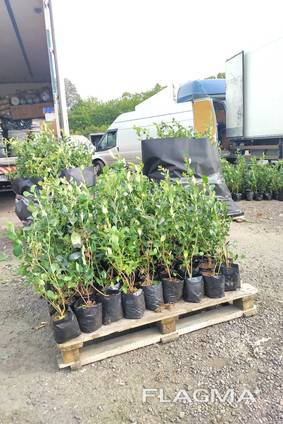 I will sell Blueberry saplings