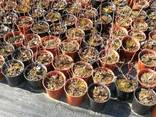 I will sell Blueberry saplings - photo 2