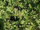 I will sell Blueberry saplings - photo 3