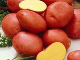 Картофель РБ