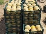 Свежие арбузы и дыни - photo 7