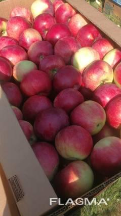 We sell apple seedlings on basins 54-118