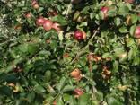 We sell apple seedlings on basins 54-118 - фото 2