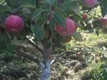 We sell apple seedlings on basins 54-118 - фото 4